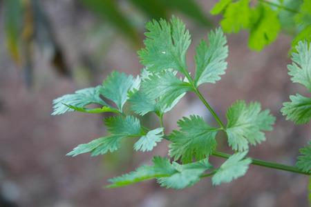 cilantro: planta de cilantro, planta a base de hierbas Foto de archivo