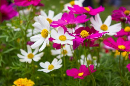 flores moradas: Flor del cosmos, flores de colores