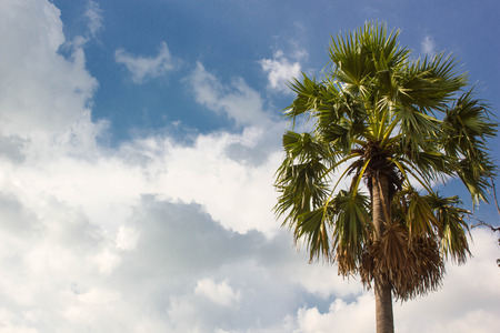 toddy palm: Toddy palm tree with blue sky background, natural tree