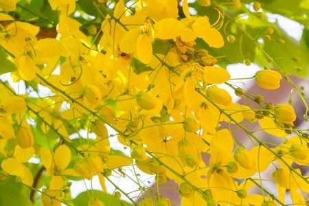 beautifu: Cassia fistula flower, golden shower tree, beautifu yellow flower Stock Photo