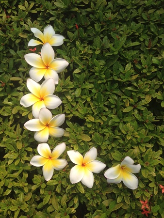 plumeria flower: Yellow and white plumeria flower put in L shaped on green leaf Stock Photo