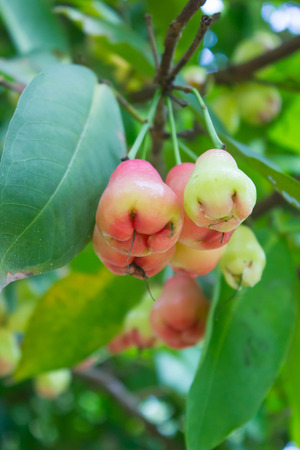 rose tree: Rose apple on  the tree in nature