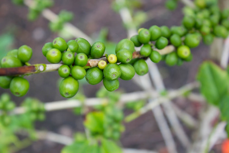 bush bean: green coffee bean, coffee tree with beans Stock Photo