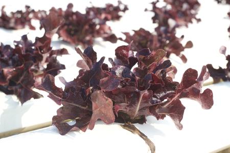 Hydroponic plant