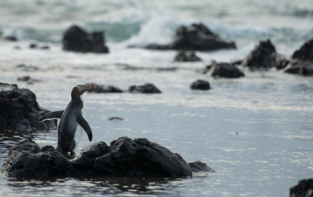 Yello eyed Penguin in Curio bay, New Zealand  photo