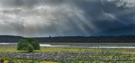 Lupins field from South island, New Zealand Stock Photo - 17190509