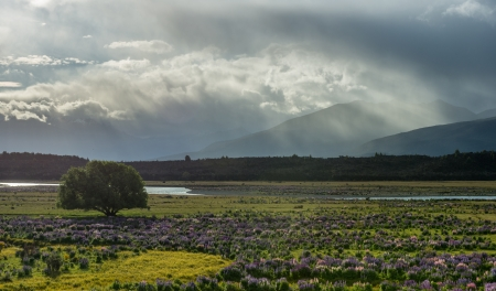 Lupins field from South island, New Zealand Stock Photo - 17213710