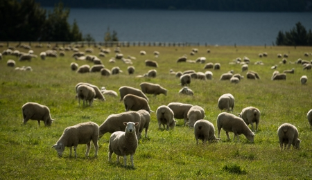 Sheeps in farm at New Zealand photo
