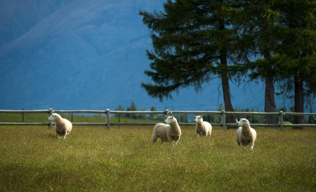 Sheeps in farm at New Zealand Stock Photo - 17213620