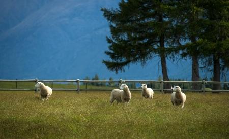 Sheeps in farm at New Zealand Stock Photo - 17213620