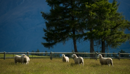 Sheeps in agriturismo in Nuova Zelanda photo