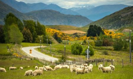 Sheeps em fazenda em Nova Zel�ndia Banco de Imagens