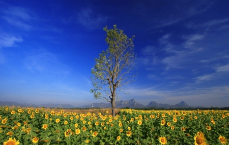 sunflowers field with Blue sky, Thailand photo