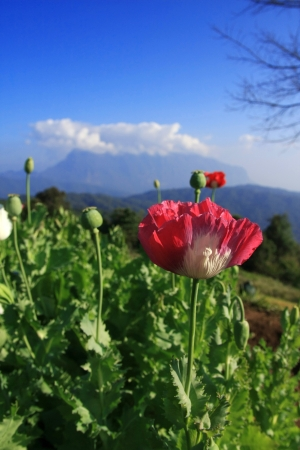 Opium poppy   photo