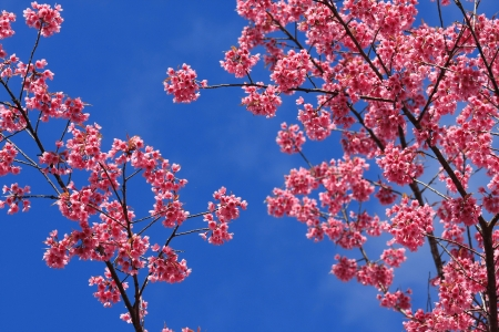 sakura pink flower in, Thailand, Cherry blossom  photo