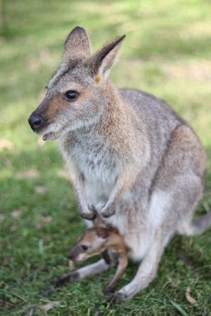 joey: Kangaroo with joey