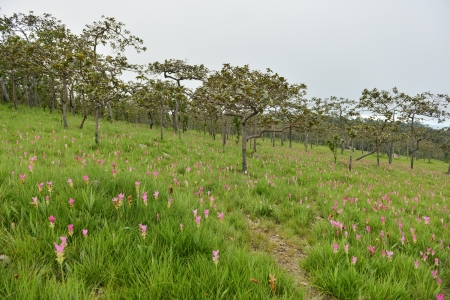 flower Wild siam tulips blooming in the jungle