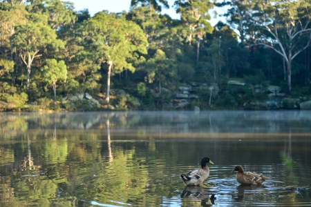 Forest with fog in morning and duck in pond  photo