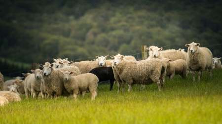 Sheeps from south island, New Zealand  photo