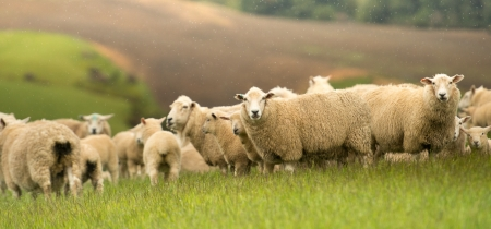 Group of sheep in New Zealand  photo
