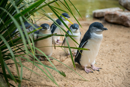 Little Penguins in Australia