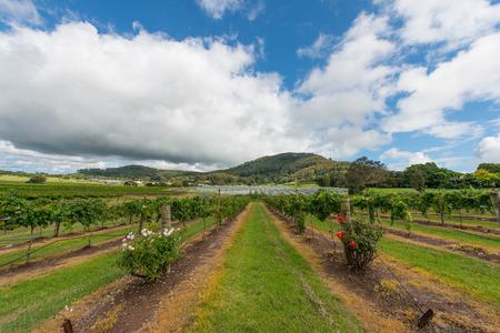 the valley: Vineyard in NSW, Australia