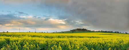 canola: Canola field in Australia.