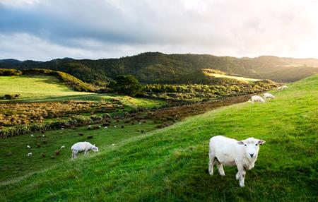 ovejas bebes: Ovejas en granja en Nueva Zelanda.