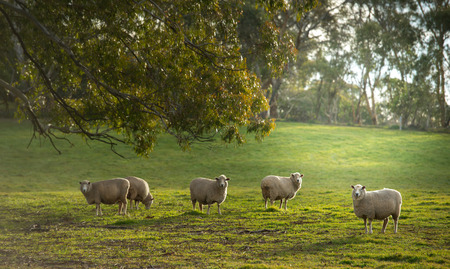 nsw: Sheep in Oberon, Central tablelands nsw Australia