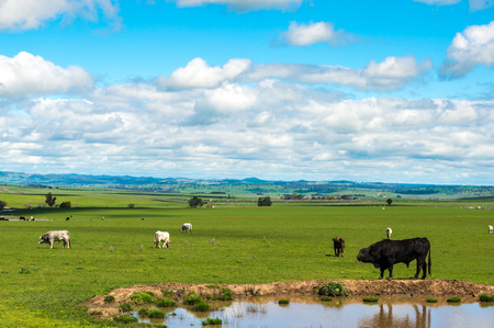 Cow farm in Australia