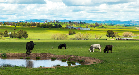 Cow farm in Australia