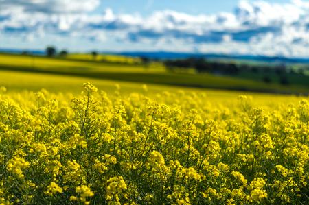 canola: Canola field in Australia Stock Photo