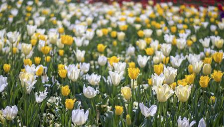 floriade: Tulip blossom in Spring season Stock Photo