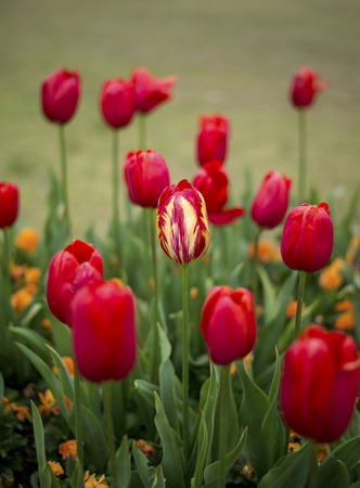 Tulip blossom in Spring season Stock Photo