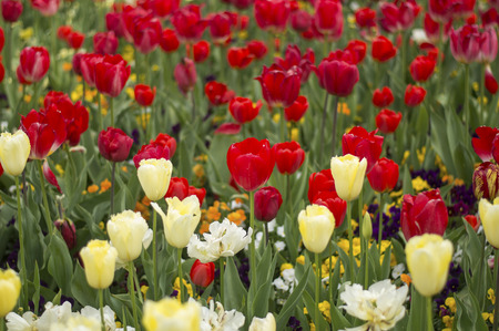 floriade: Tulip in Spring season