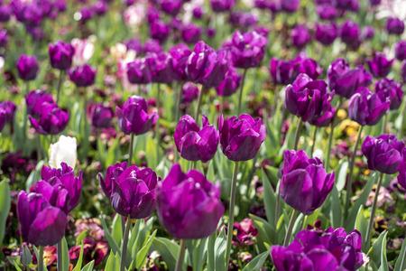 Tulip in Spring season
