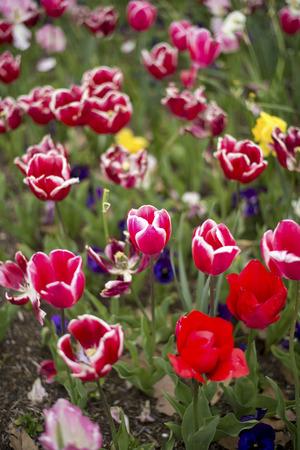 floriade: Tulip in Canberra 2016