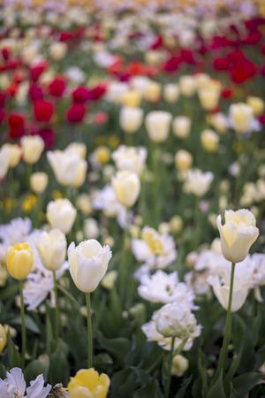 Tulip in Canberra 2016