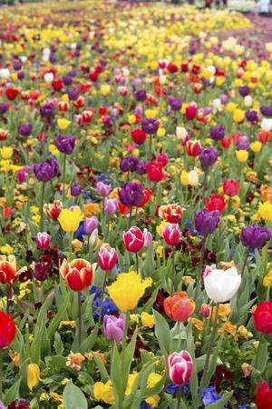 floriade: Tulip in Canberra festival 2016 Stock Photo