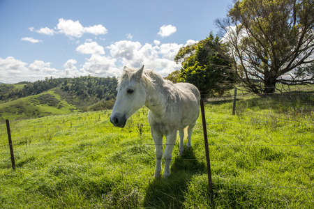 White horse in farm from Lithgow west of Sydney
