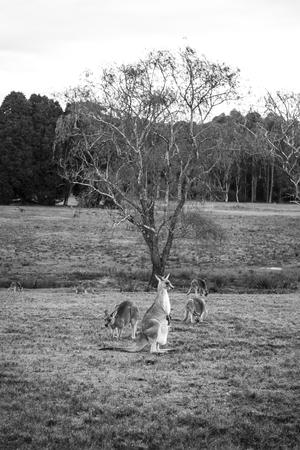 Wild Kangaroo in Australia Stock Photo