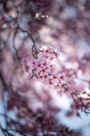 Beautiful cherry blossom sakura in spring time over blue sky.