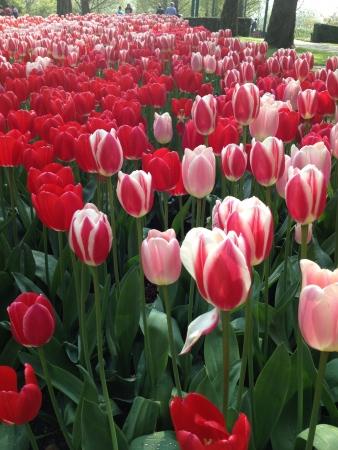 keukenhof: Tulips in Keukenhof  Stock Photo