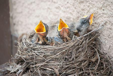 robins: Hungry Baby Robins