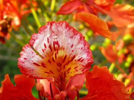 Flamboyant, Royal Poinciana or Flame Tree really lives upto  its name. This tropical tree has red hot fire like bloom.