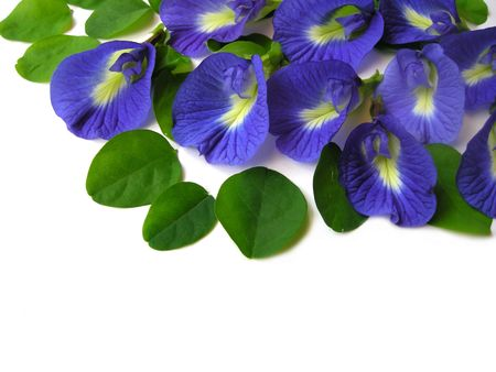 dicot: Beautiful blue flower. Pigments from the flower can be used for hair dying or  food color.                                 Stock Photo