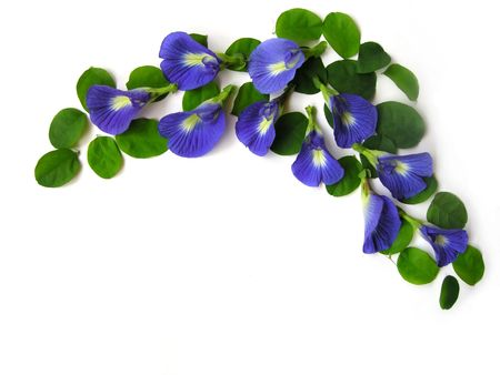 Beautiful blue flower. Pigments from the flower can be used for hair dying or  food color.                       photo