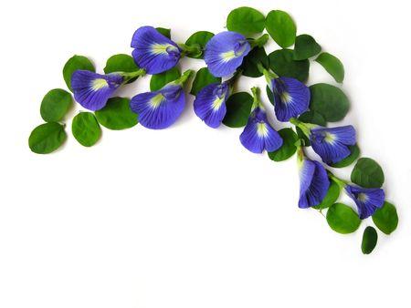 dicot: Bel fiore blu. Pigmenti dal fiore possono essere utilizzati per capelli morire o il colore del cibo.