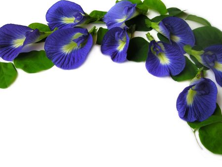 Beautiful blue flower. Pigments from the flower can be used for hair dying or  food color.
