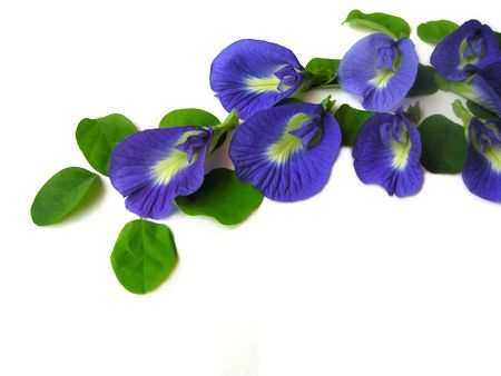 Mooie blauwe bloem. Pigmenten van de bloem kunnen worden gebruikt voor haar sterven of voedsel kleur.
